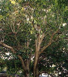 町の木もくせいの写真