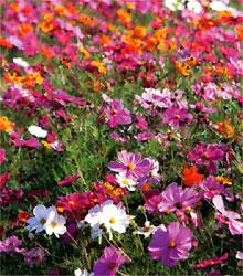 町の花コスモスの写真