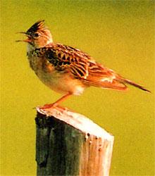 町の鳥ひばりの写真